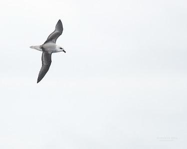 White-headed Petrel, Eaglehawk Neck Pelagic, TAS, Sept 2016-1