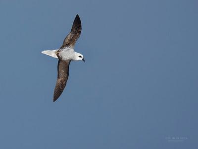 White-headed Petrel, Eaglehawk Neck Pelagic, TAS, May 2016-2