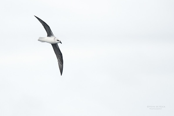 White-headed Petrel, Eaglehawk Neck Pelagic, TAS, Sept 2016-2