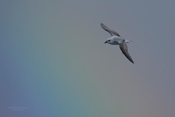 White-headed Petrel, Eaglehawk Neck Pelagic, TAS, May 2016-8