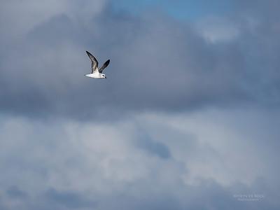 White-headed Petrel, Eaglehawk Neck Pelagic, TAS, May 2016-6