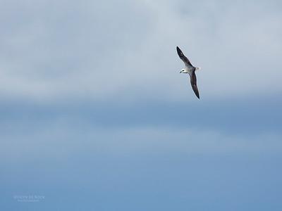 White-headed Petrel, Eaglehawk Neck Pelagic, TAS, May 2016-7