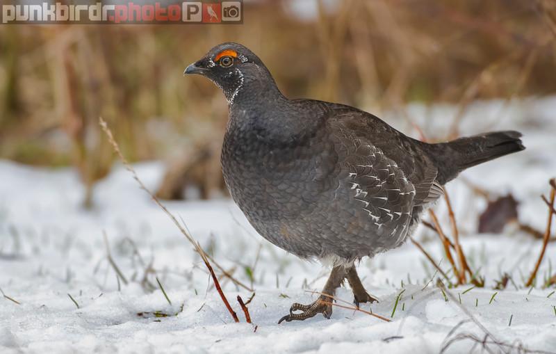sooty grouse