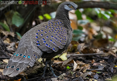 Grey Peacock-Pheasant (Polyplectron bicalcaratum)