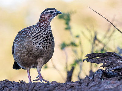 Crested Francolin, Zimanga, South Africa, May 2017-2
