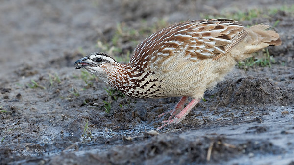 Crested Francolin, Chobe River, NAM, Oct 2016-1