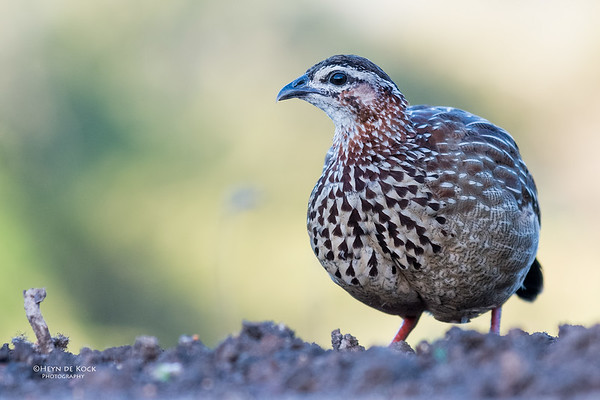 Crested Francolin, Zimanga, South Africa, May 2017-4