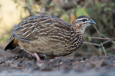 Crested Francolin, Zimanga, South Africa, May 2017-1