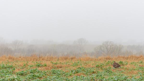Greater Prairie-Chicken, Burchard, NE, US, May 2018-17