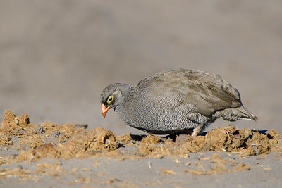 Red-billed Spurfowl, Chobe NP, Botswana, Jul 2011