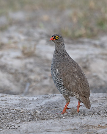 Red-billed Spurfowl, Khwai River Concession, Botswana, May 2017-1