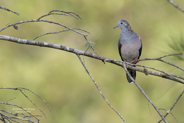 Bar-Shouldered Dove, Mudgeeraba, April 2017