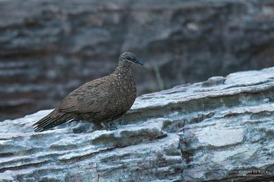 Chestnut-quilled Rock-pigeon, Kakadu NP, NT, Oct 2010-3
