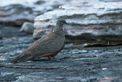 Chestnut-quilled Rock-pigeon, Kakadu NP, NT, Oct 2010-1
