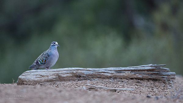 Common Bronzewing, Bowra, Cunnamulla, QLD, Aus, Sept 2017-1