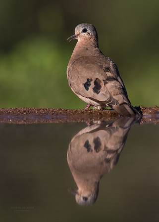 Emerald-spotted Wood Dove, Zimanga, South Africa, May 2017-2
