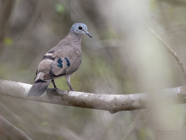Emerald-spotted Wood Dove, Phinda PGR, KZN, SA, Oct 2016-1