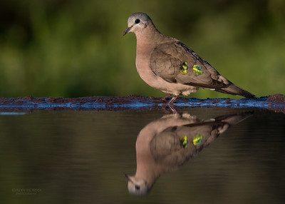 Emerald-spotted Wood Dove, Zimanga, KZN, South Africa, May 2017-1