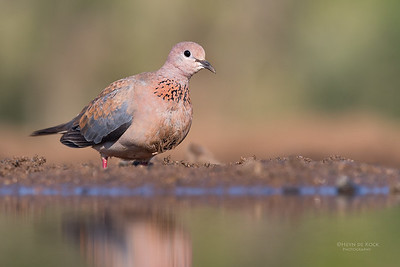 Laughing Dove, Zimanga, South Africa, May 2017-2