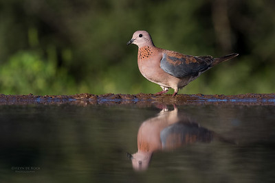 Laughing Dove, Zimanga, South Africa, May 2017-3
