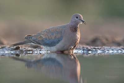Laughing Dove, Zimanga, South Africa, May 2017-1