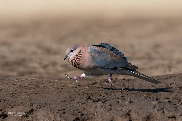 Laughing Dove, Mashatu GR, Botswana, May 2017-3