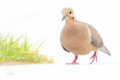 Mourning Dove, Fort De Soto, St Petersburg, FL, USA, May 2018-2