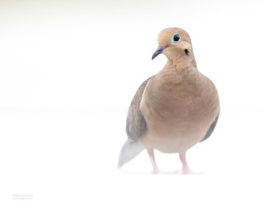 Mourning Dove, Fort De Soto, St Petersburg, FL, USA, May 2018-4