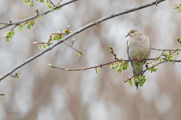 Mourning Dove, Standing Bear Lake, NE, USA, May 2018-1