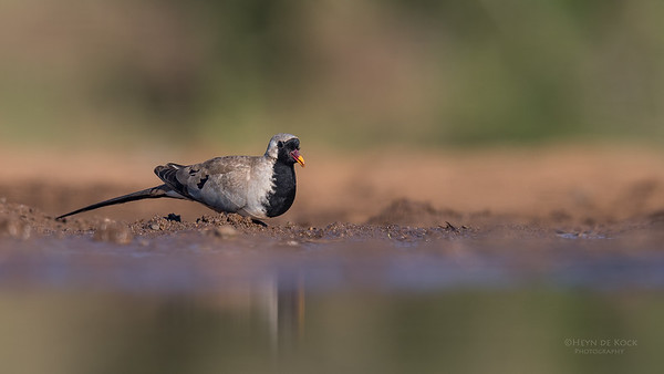 Namaqua Dove, Zimanga, South Africa, May 2017-1