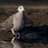 Red-eyed Dove, Mashatu GR, Botswana, May 2017-3