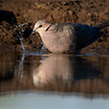 Red-eyed Dove, Mashatu GR, Botswana, May 2017-4