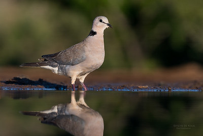 Ring-necked Dove, Zimanga, South Africa, May 2017-1