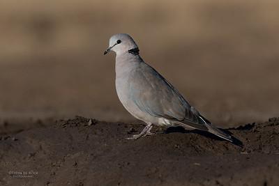 Ring-necked Dove, Mashatu GR, Botswana, May 2017-3