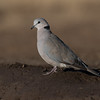 Ring-necked Dove, Mashatu GR, Botswana, May 2017-3