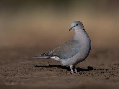 Ring-necked Dove, Mashatu GR, Botswana, May 2017-4