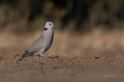 Ring-necked Dove, Mashatu GR, Botswana, May 2017-5