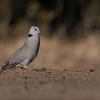 Ring-necked Dove, Mashatu GR, Botswana, May 2017-5