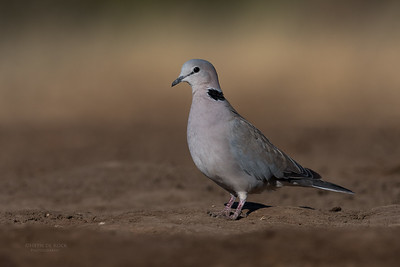 Ring-necked Dove, Mashatu GR, Botswana, May 2017-7