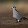 Ring-necked Dove, Mashatu GR, Botswana, May 2017-7