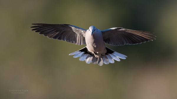 Ring-necked Dove, Mashatu GR, Botswana, May 2017-6