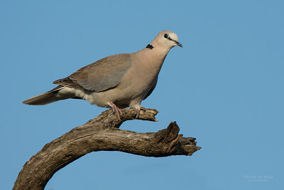 Cape Turtle Dove, Sandveld NR, FS, SA, Sep 2015