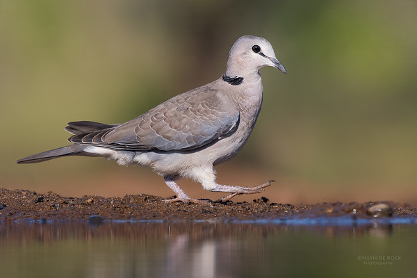 Ring-necked Dove, Zimanga, South Africa, May 2017-2