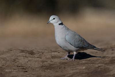 Ring-necked Dove, Mashatu GR, Botswana, May 2017-2