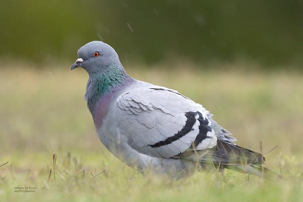 Rock Dove, Gold Coast, QLD, Oct 2018-1