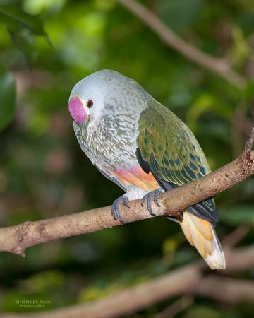 Rose Crowned Fruit-dove *c, Port Douglas, QLD, Dec 2009