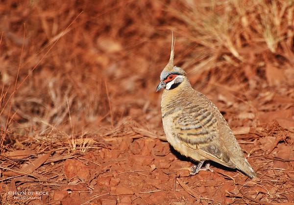 Spinifix Pigeon, Karijini NP, WA, Sep 2008