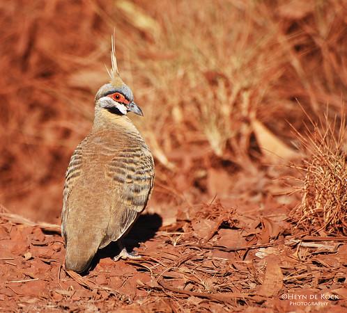 Spinifix Pigeon, Karijini NP, WA, Sep 2008-1