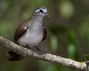 Tambourine Dove, f, Phinda PGR, KZN, SA, Oct 2016-3