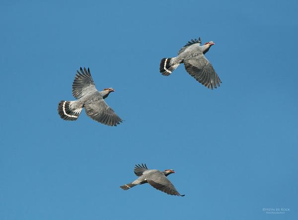 Topknot Pigeons, Nowra, NSW, Aus, Oct 2012